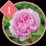 センチフォリアバラ花(ローズ)